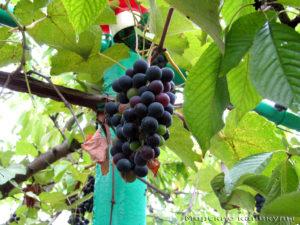 Виноград не доели